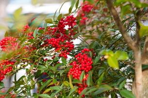 京都の庭園 赤い南天の実の写真素材 [FYI03438620]