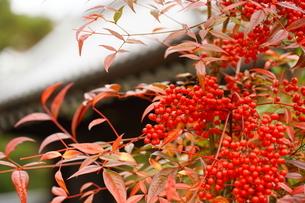 京都の庭園 紅葉の景色の写真素材 [FYI03438621]