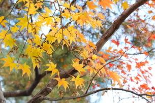 京都の庭園 紅葉の景色の写真素材 [FYI03438622]