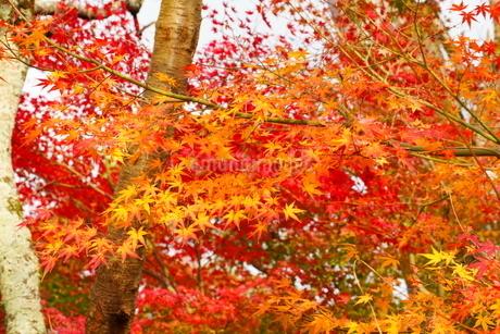 京都の庭園 紅葉の景色の写真素材 [FYI03438623]