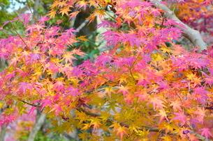 京都の庭園 紅葉の景色の写真素材 [FYI03438624]