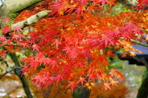 京都の庭園 紅葉の景色の写真素材 [FYI03438625]