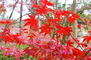 京都の秋 お寺の紅葉の写真素材 [FYI03438628]