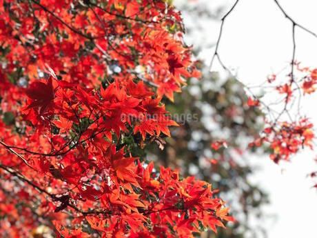 紅葉の写真素材 [FYI03438719]