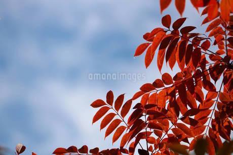 紅葉の写真素材 [FYI03438731]