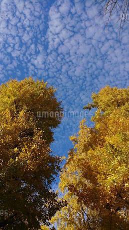 秋空と紅葉の写真素材 [FYI03438807]