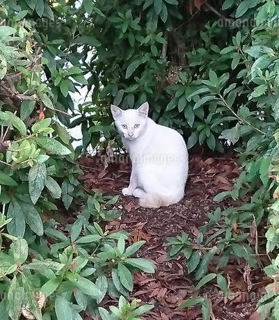 白い仔猫の写真素材 [FYI03438812]