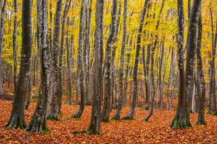 紅葉の美人林の写真素材 [FYI03439170]