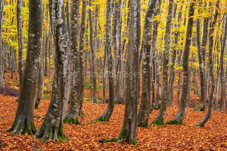 紅葉の美人林の写真素材 [FYI03439171]