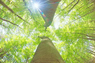 新緑のブナ林と木もれ日の写真素材 [FYI03439721]