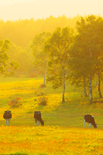 菅平高原のホルスタインと夕方の光の写真素材 [FYI03439762]