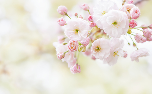 普賢象桜の花の写真素材 [FYI03439839]