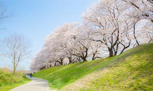 背割堤の満開の桜と散歩道の写真素材 [FYI03439840]