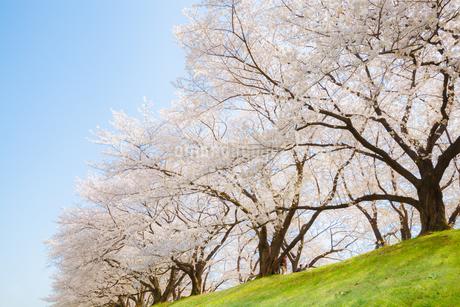 背割堤の満開の桜の写真素材 [FYI03439841]