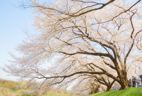 背割堤の満開の桜の写真素材 [FYI03439842]