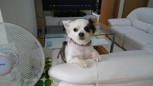 ソファーの上のチワワ  白黒のワンコの写真素材 [FYI03439844]