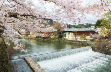 嵐山の中ノ島橋から見た桂川と桜の写真素材 [FYI03439849]
