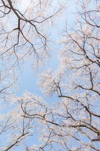佐野藤右衛門邸の満開の枝垂桜の写真素材 [FYI03439851]
