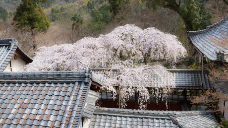 十輪寺の満開の枝垂桜の写真素材 [FYI03439853]