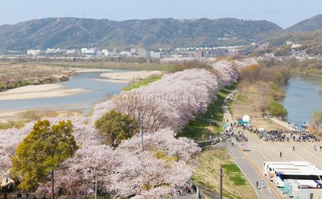背割堤の満開の桜の写真素材 [FYI03439857]