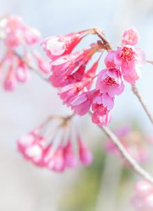 寒緋桜の花の写真素材 [FYI03439858]