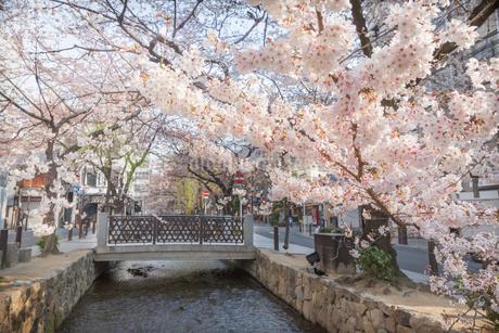 木屋町通りと満開の桜の写真素材 [FYI03439861]