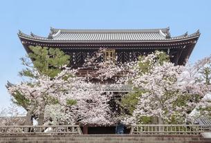 金戒光明寺の山門と満開の桜の写真素材 [FYI03439864]