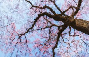 佐野藤右衛門邸の満開の枝垂桜の写真素材 [FYI03439924]