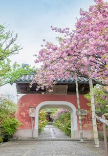 京都伏見の石峰寺の羅漢参道唐門と八重桜の写真素材 [FYI03439925]