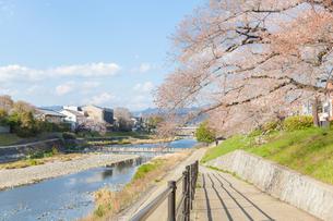 京都高野川沿いの散歩道と桜の写真素材 [FYI03439927]