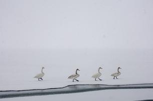 白鳥の群れの写真素材 [FYI03439945]