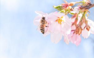 桜の花の蜜を集めるミツバチの写真素材 [FYI03440136]