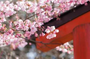 平野神社の鳥居と陽光桜の写真素材 [FYI03440138]