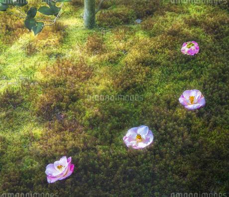 霊鑑寺の苔庭に落ちた椿の花の写真素材 [FYI03440164]