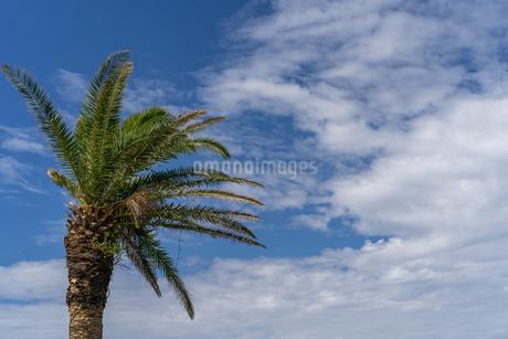 爽やかな青空とヤシの木の写真素材 [FYI03440167]