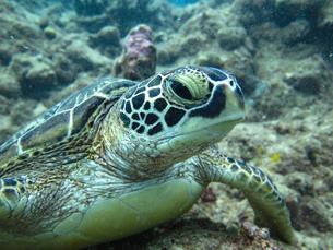 石垣島のアオウミガメの横顔の写真素材 [FYI03440172]