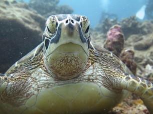石垣島のアオウミガメの正面の写真素材 [FYI03440173]