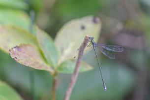 イトトンボをマクロレンズで撮影の写真素材 [FYI03440252]