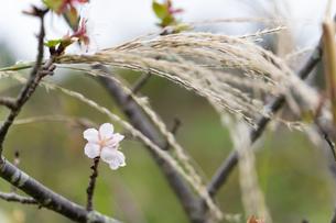 ススキと桜の写真素材 [FYI03440253]