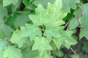 印象的な形の葉の写真素材 [FYI03440261]