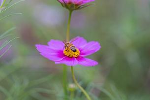 花粉を集めるミツバチの写真素材 [FYI03440265]