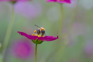 花粉を集めるミツバチの写真素材 [FYI03440266]