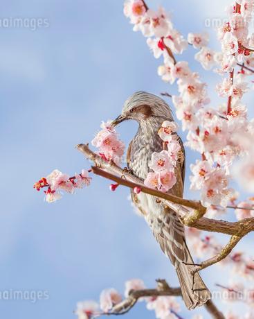 満開の梅の花とヒヨドリの写真素材 [FYI03440430]