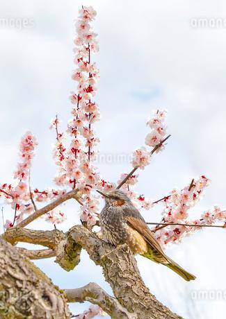 満開の梅の花とヒヨドリの写真素材 [FYI03440431]