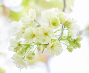 鬱金桜の花の写真素材 [FYI03440457]