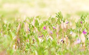 春の野のツクシとカラスノエンドウの花の写真素材 [FYI03440458]