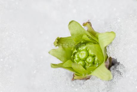 雪の中から顔を出したフキノトウの写真素材 [FYI03440463]