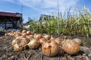 玉ねぎの収穫の写真素材 [FYI03440468]
