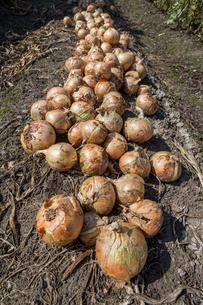 玉ねぎの収穫の写真素材 [FYI03440469]