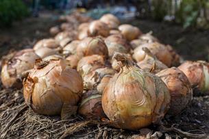 玉ねぎの収穫の写真素材 [FYI03440470]